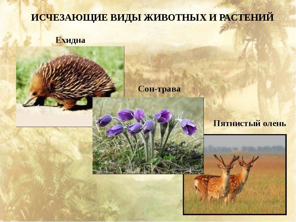 ИСЧЕЗАЮЩИЕ ВИДЫ ЖИВОТНЫХ И РАСТЕНИЙ Ехидна Сон-трава Пятнистый олень