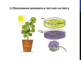 1.Образование крахмала в листьях на свету.