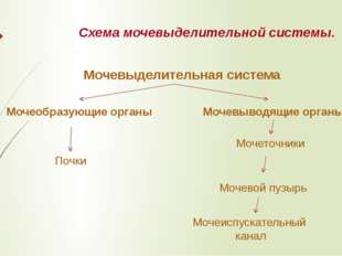 Схема мочевыделительной системы. Мочевыделительная система Мочеобразующие орг
