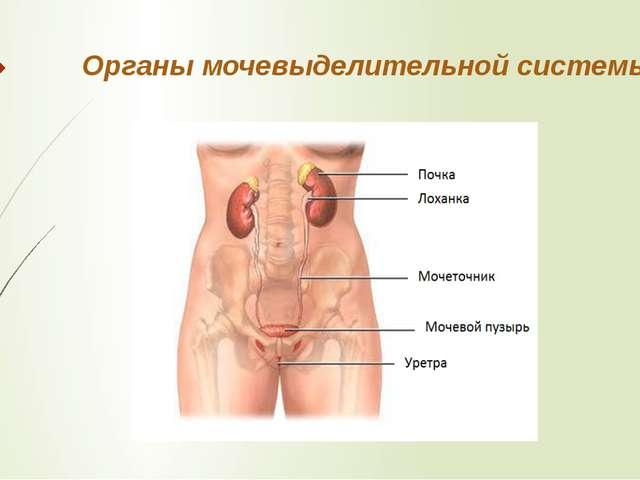 Органы мочевыделительной системы.