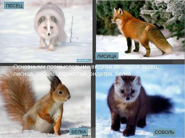 Основными промысловыми видами являются песец, лисица, соболь, горностай, онда...