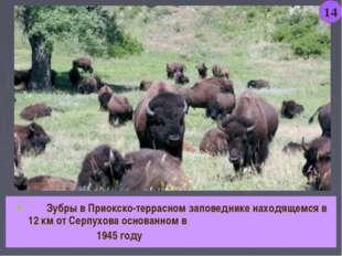 Зубры в Приокско-террасном заповеднике находящемся в 12 км от Серпухова осно