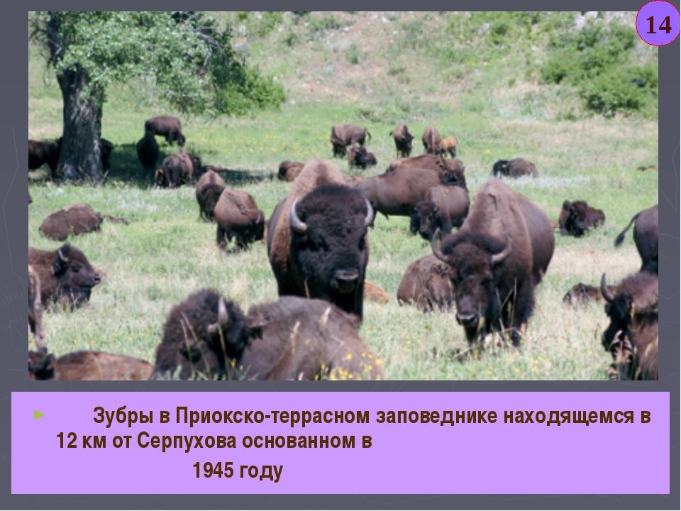 Зубры в Приокско-террасном заповеднике находящемся в 12 км от Серпухова осно...