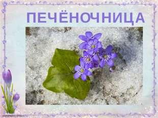ПЕЧЁНОЧНИЦА