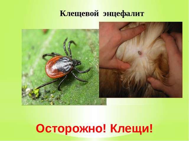 Осторожно! Клещи! Клещевой энцефалит