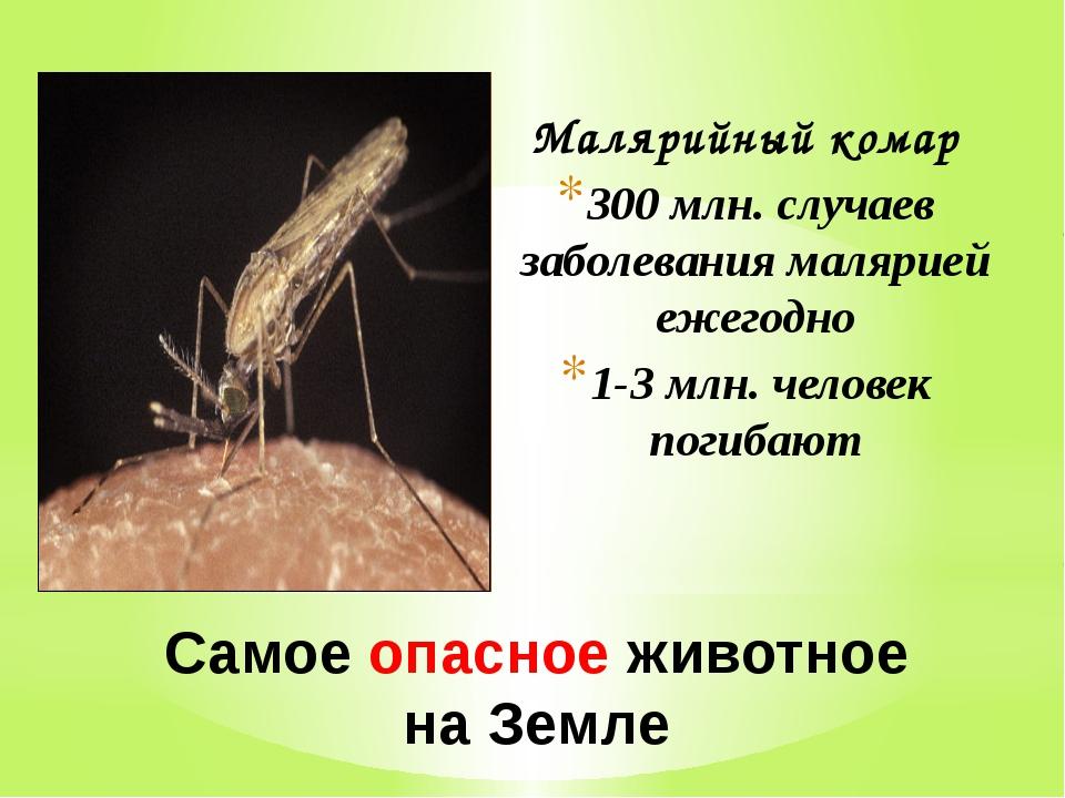 Самое опасное животное на Земле Малярийный комар 300 млн. случаев заболевания...