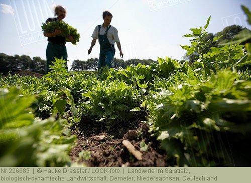 Landwirte im Salatfeld, 226683, Bildagentur LOOK