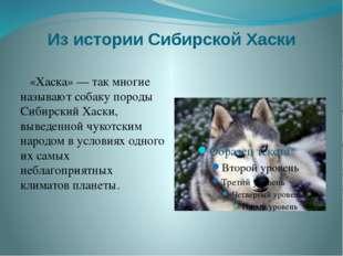 Из истории Сибирской Хаски «Хаска» — так многие называют собаку породы Сибирс