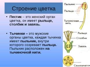 Строение цветка Пестик – это женский орган цветка, он имеет рыльце, столбик и