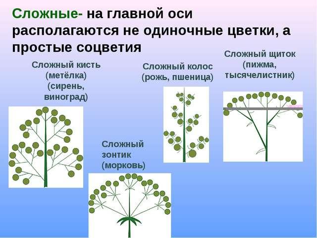 Сложные- на главной оси располагаются не одиночные цветки, а простые соцветия...