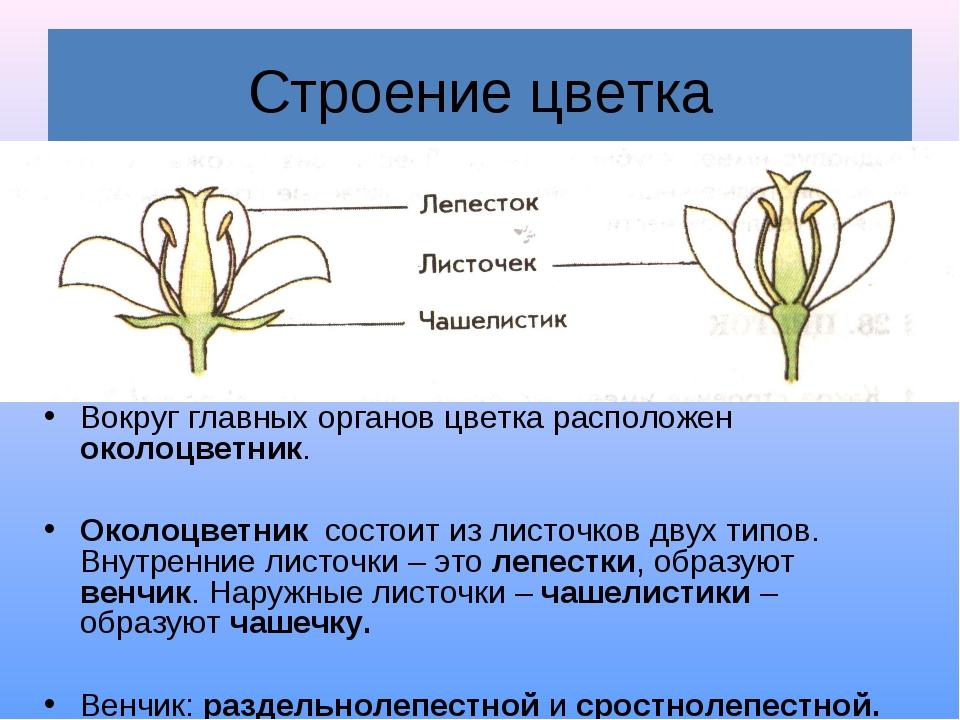 Строение цветка Вокруг главных органов цветка расположен околоцветник. Околоц...