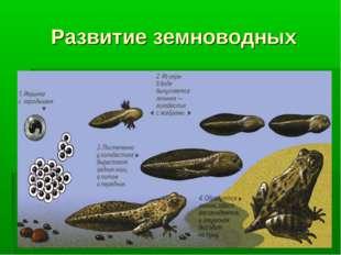 Развитие земноводных