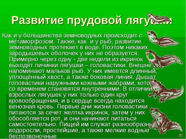 Развитие прудовой лягушки Как и у большинства земноводных происходит с метамо...