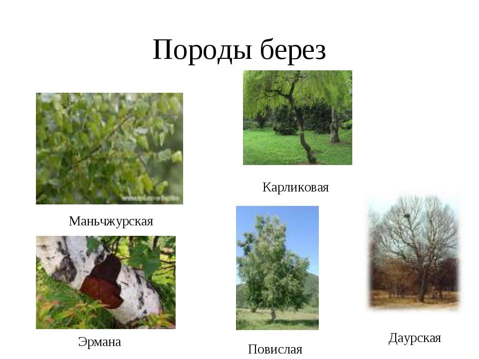Породы берез Маньчжурская Эрмана Карликовая Даурская Повислая