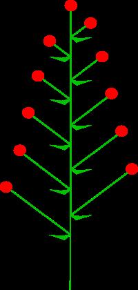 http://upload.wikimedia.org/wikipedia/commons/thumb/f/f7/Inflorescences_Raceme_Kwiatostan_Grono.svg/200px-Inflorescences_Raceme_Kwiatostan_Grono.svg.png