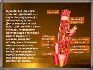 В обычных условиях мы не ощущаем мускулатуру нашего тела. Но без мышечного чу