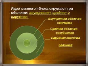 Ядро глазного яблока окружают три оболочки: внутренняя, средняя и наружная.