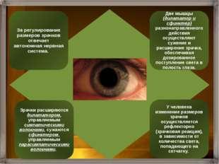 Внутренняя оболочка глаза – сетчатка - это рецепторная часть зрительного анал