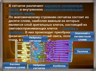 Колбочки - рецепторы цветового зрения Палочки - рецепторы сумеречного зрения
