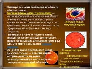 Слепое пятно Желтое пятно (центральная ямка) Оптическая ось глаза Сетчатка З