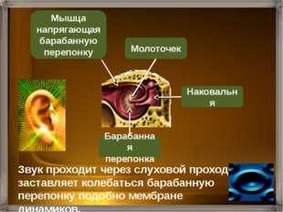 Барабанная перепонка Слуховая (Евстахиева) труба Наковальня Стремечко Молото