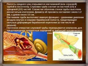 Слизистая оболочка полости уха, как и любая другая, содержит огромное количес
