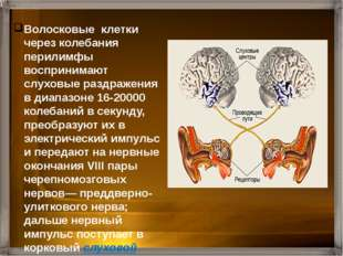 Головной мозг Нервный импульс Рецепторные клетки Жидкость в улитке Мембрана о