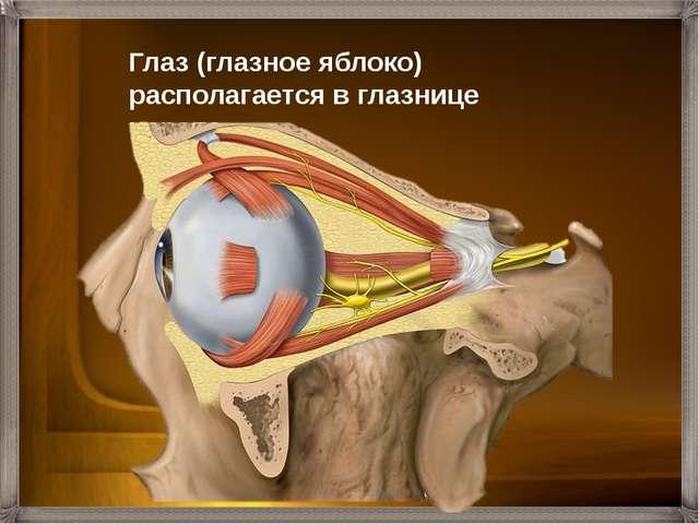 Глаз (глазное яблоко) располагается в глазнице черепа.
