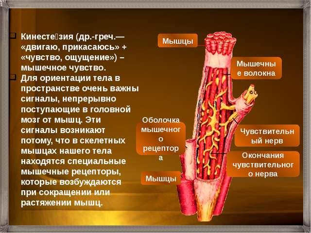 В обычных условиях мы не ощущаем мускулатуру нашего тела. Но без мышечного чу...