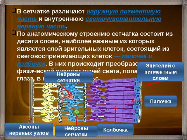 Колбочки - рецепторы цветового зрения Палочки - рецепторы сумеречного зрения...