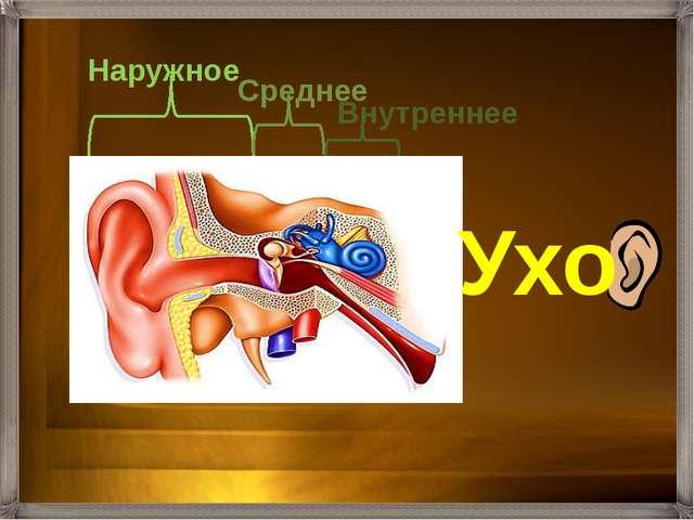Состоит из ушной раковины и слухового прохода, заканчивающегося барабанной п...