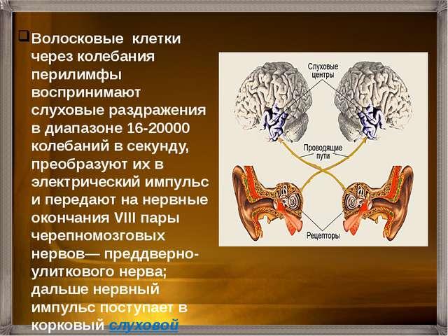 Головной мозг Нервный импульс Рецепторные клетки Жидкость в улитке Мембрана о...