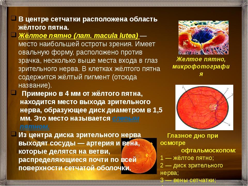 Слепое пятно Желтое пятно (центральная ямка) Оптическая ось глаза Сетчатка З...