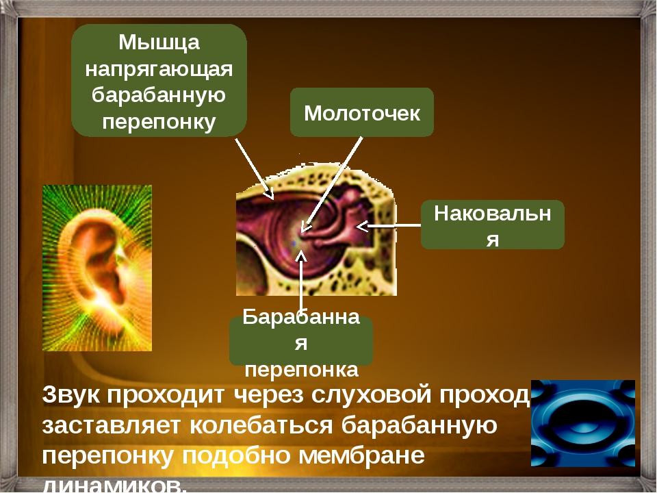 Барабанная перепонка Слуховая (Евстахиева) труба Наковальня Стремечко Молото...