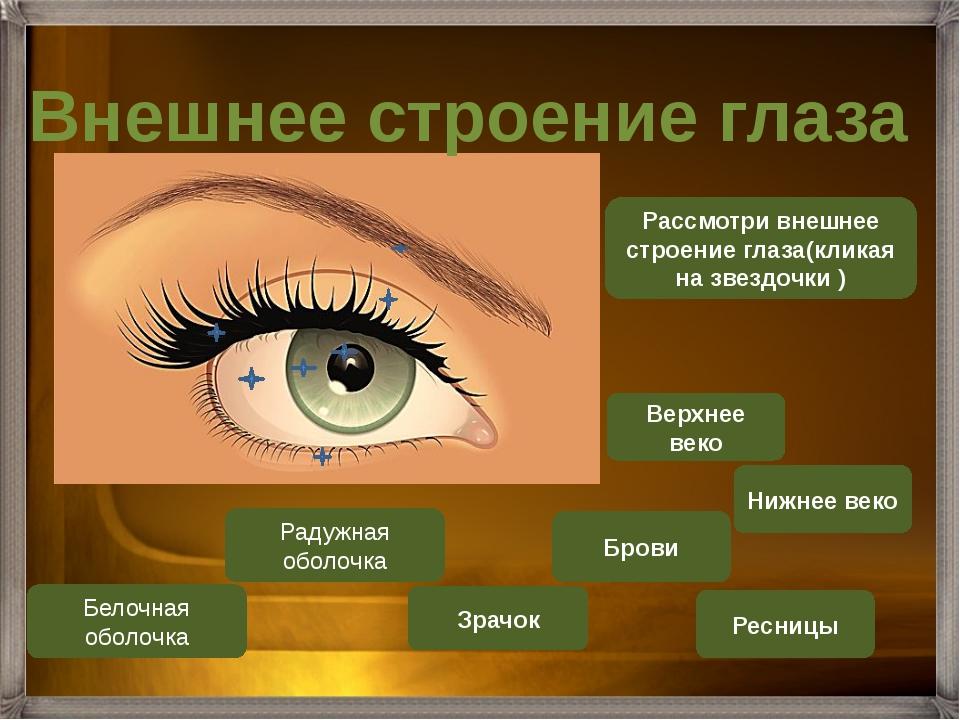 Рассмотри внешнее строение глаза(кликая на звездочки ) Верхнее веко Ресницы Р...