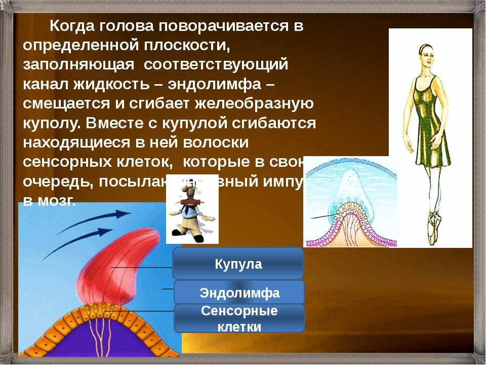 Отолиты Волосковые сенсорные клетки Желеобразная масса Отолитовый аппарат сос...
