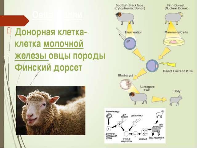 Овца Долли Донорная клетка- клетка молочной железы овцы породы Финский дорсет
