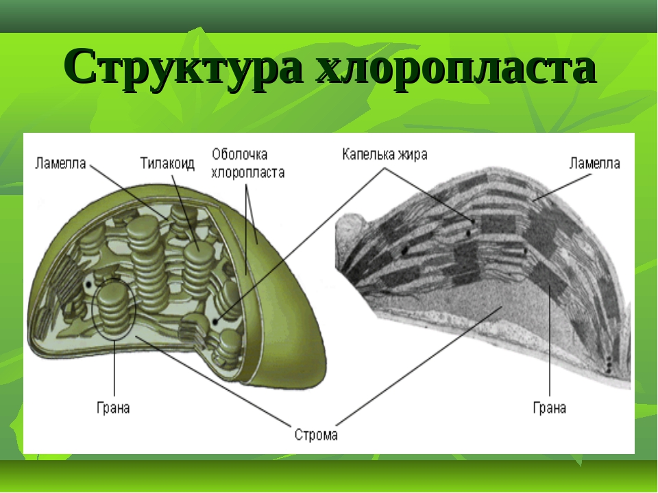 Структура хлоропласта