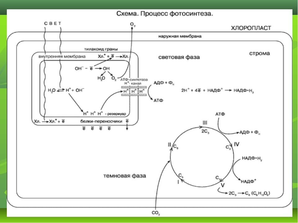 photosysthesis diagrams