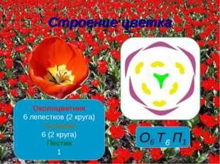 Строение цветка Околоцветник 6 лепестков (2 круга) Тычинки 6 (2 круга) Пестик 1