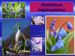 Лилейные первоцветы