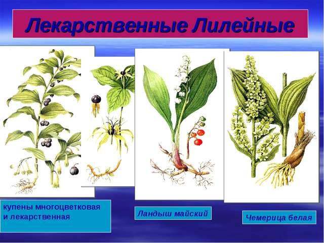 купены многоцветковая и лекарственная Ландыш майский Чемерица белая Лекарстве...