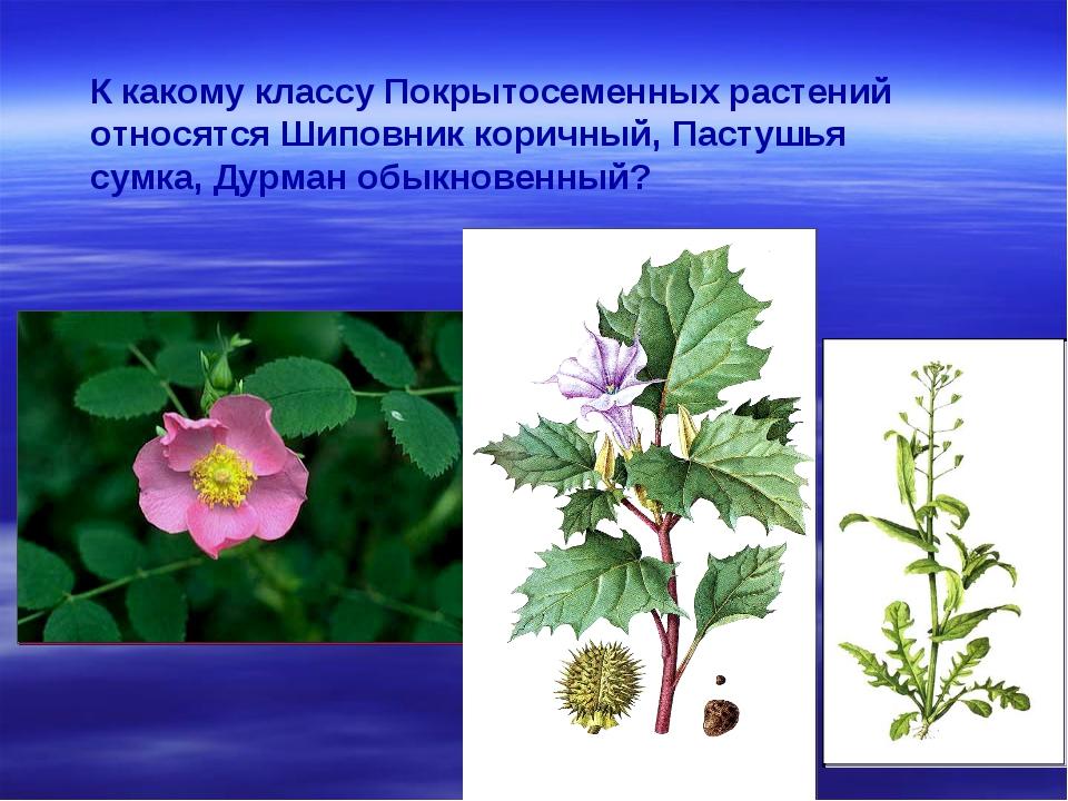 К какому классу Покрытосеменных растений относятся Шиповник коричный, Пастушь...