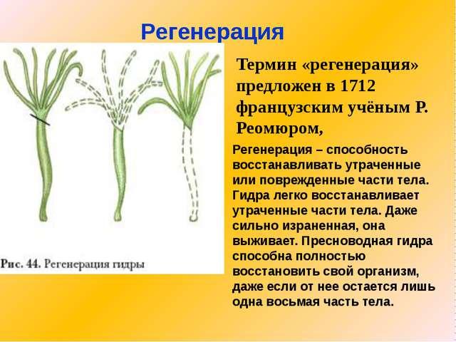 Регенерация Термин «регенерация» предложен в 1712 французским учёным Р. Реомю...