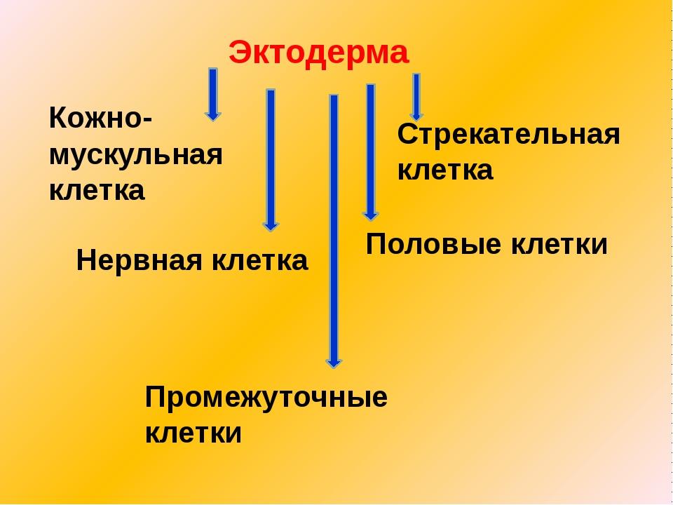 Эктодерма Кожно- мускульная клетка Нервная клетка Стрекательная клетка Промеж...
