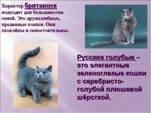 Русские голубые – это элегантные зеленоглазые кошки с серебристо-голубой плюш