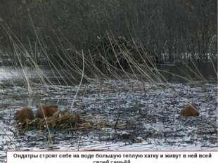 Ондатры строят себе на воде большую теплую хатку и живут в ней всей своей сем
