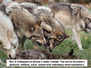 Вот и собираются волки к зиме стаями. Так легче изловить добычу: кабана, лося