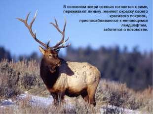 В основном звери осенью готовятся к зиме, переживают линьку, меняют окраску с