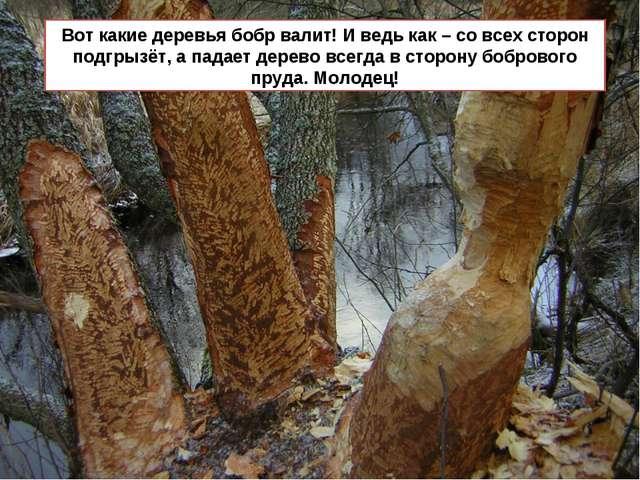 Вот какие деревья бобр валит! И ведь как – со всех сторон подгрызёт, а падает...